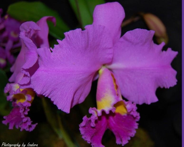 Orchid double purple signed- Copy copy copy