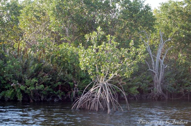 Banyan tree web