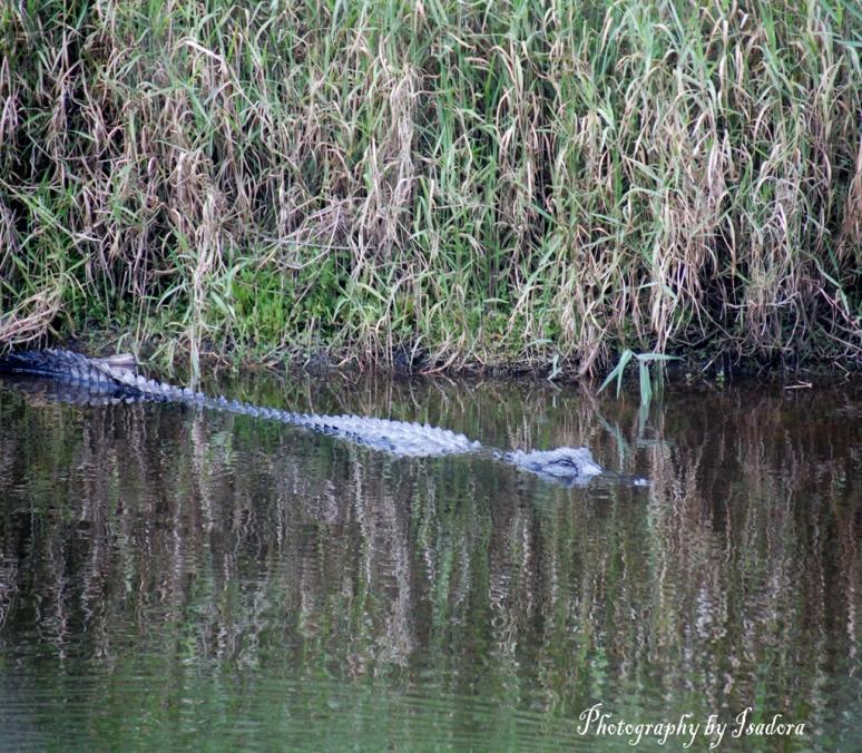 Alligator---Forward
