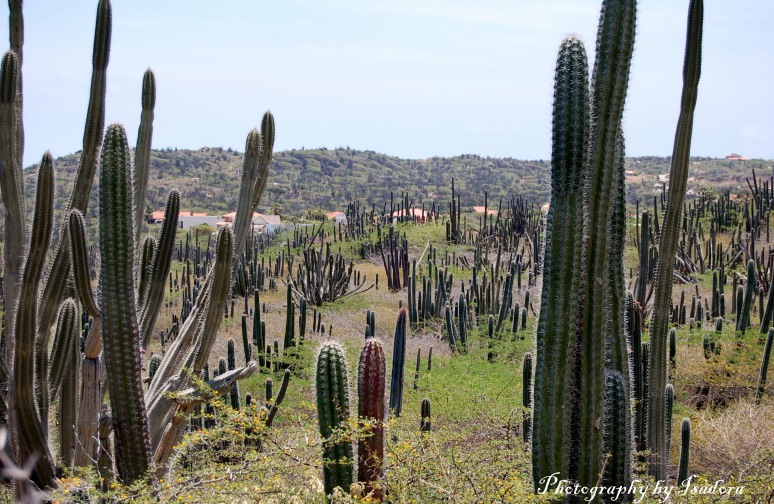 cactus Filed web wigned