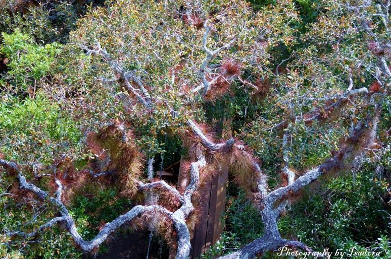 Canopy Tree w Moss - web signed  copy