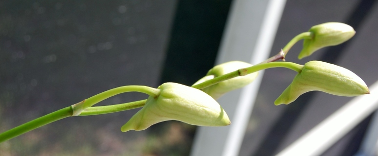 Orchid - buds white pink