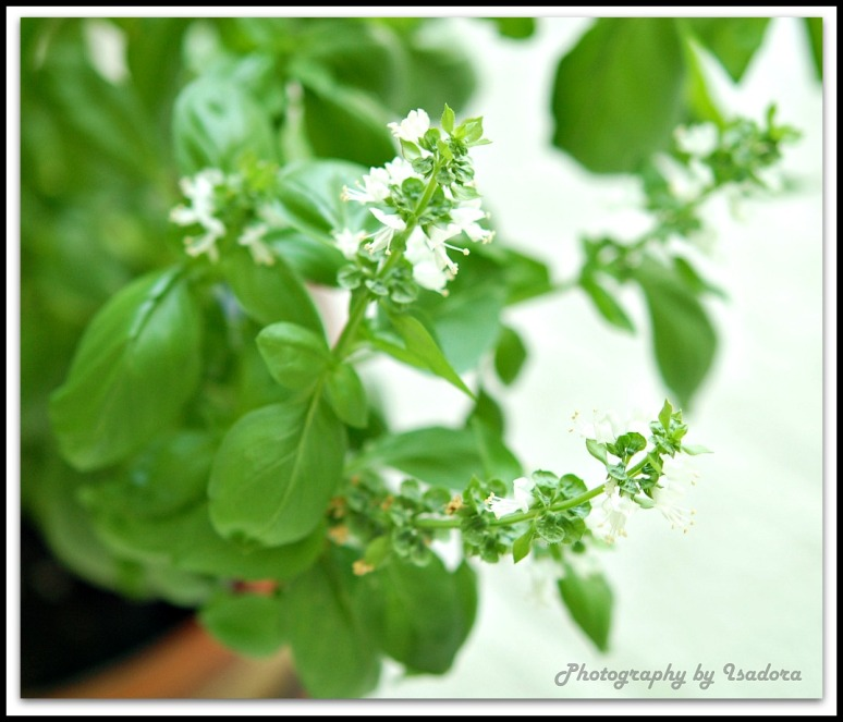 basil flowers_edited-1web