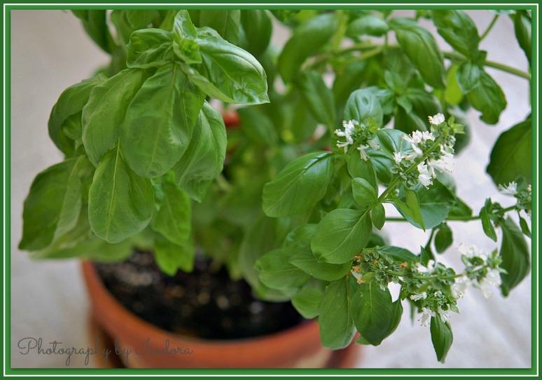 basil plant web