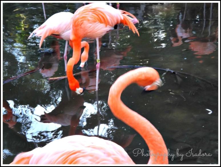 Flamingo feeding.web