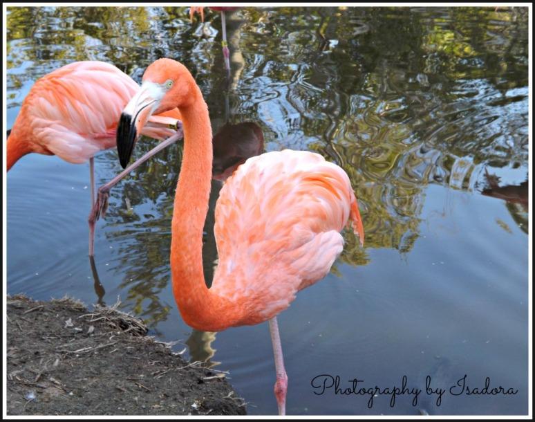Flamingo standing.web