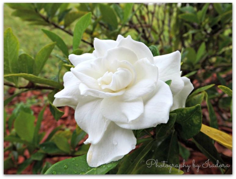 Gardenia - Large.web