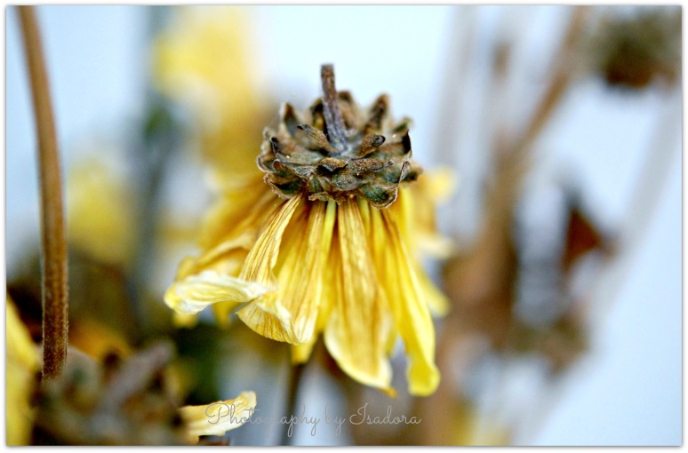 Wilted Yellow Daisy.web