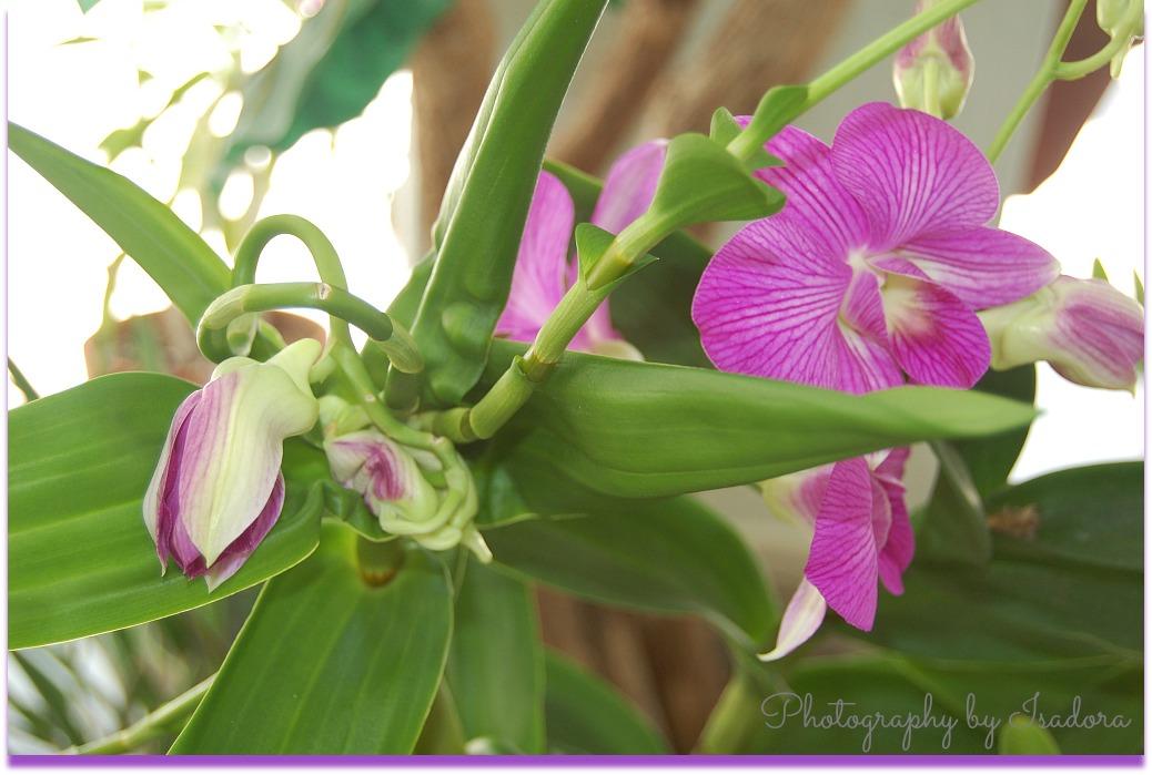 Ochid pink flowers.web