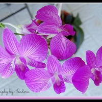 Queen Pink Purple Dendrobium