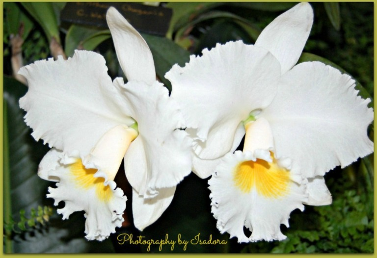 Double White Orchid 2.web