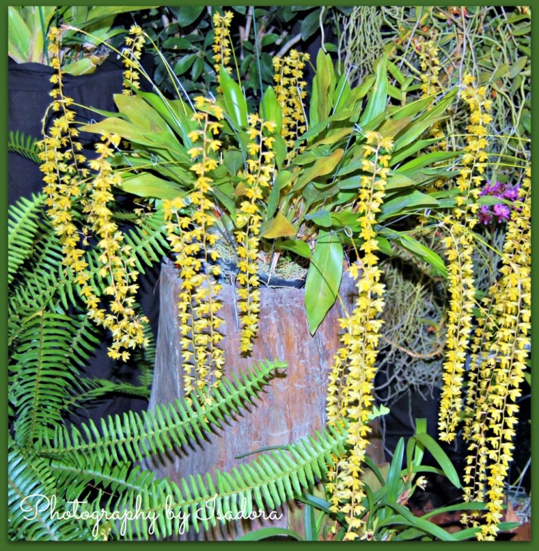 Hanging orchids - yellow.web