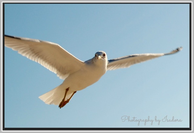 Soaring sea gull.web