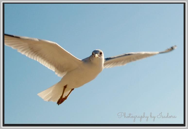 Soaring sea gull.web