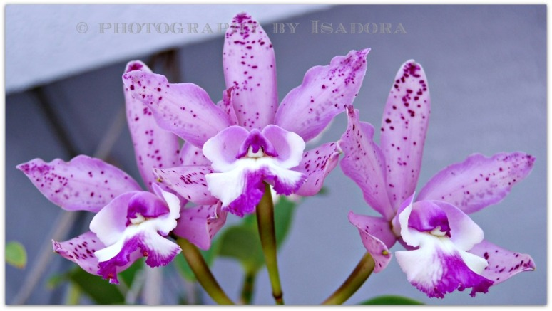 3 Pink Orchids.web