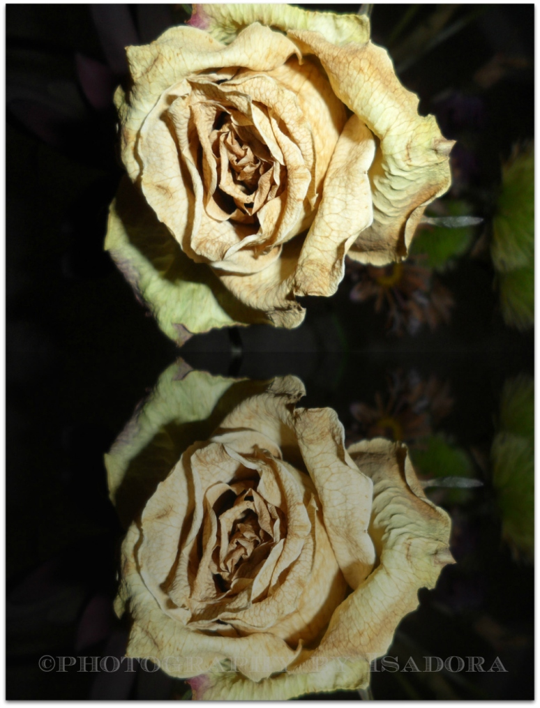 Yellow Rose - Reflections.web