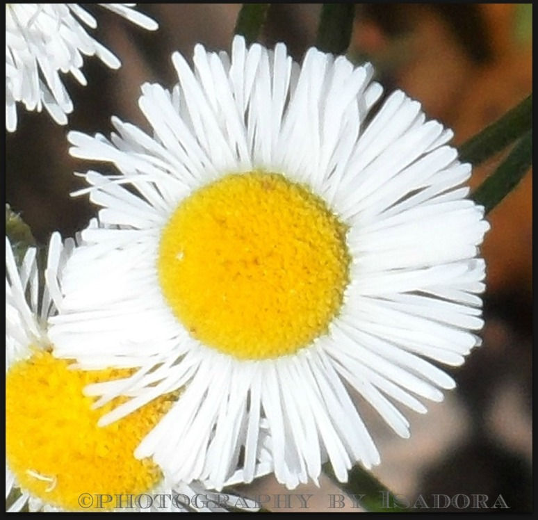 Daisy.web
