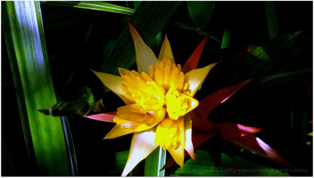 Flower yellow bromeliad.web