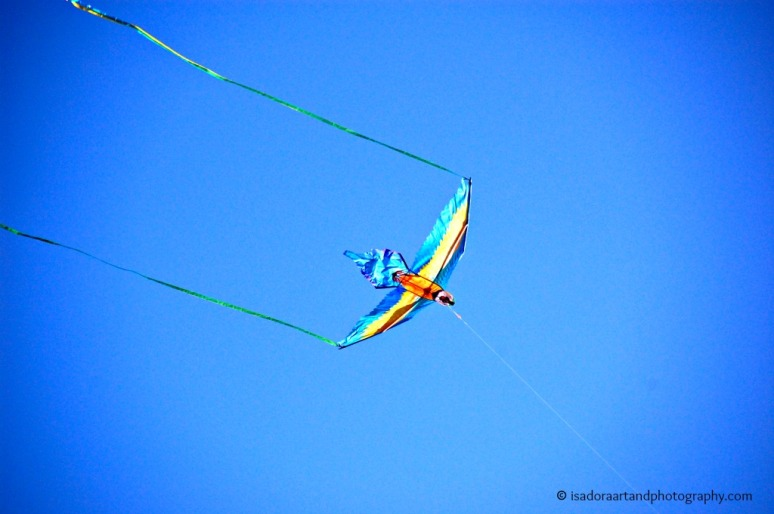 Bird blue kite A.web