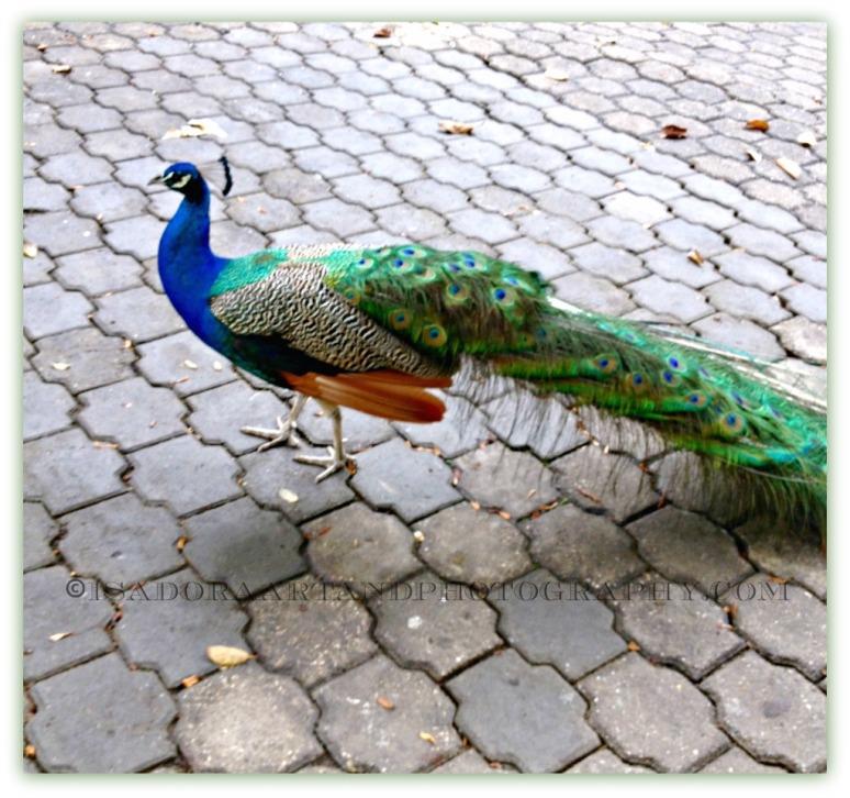 Bird Peacock 2.web