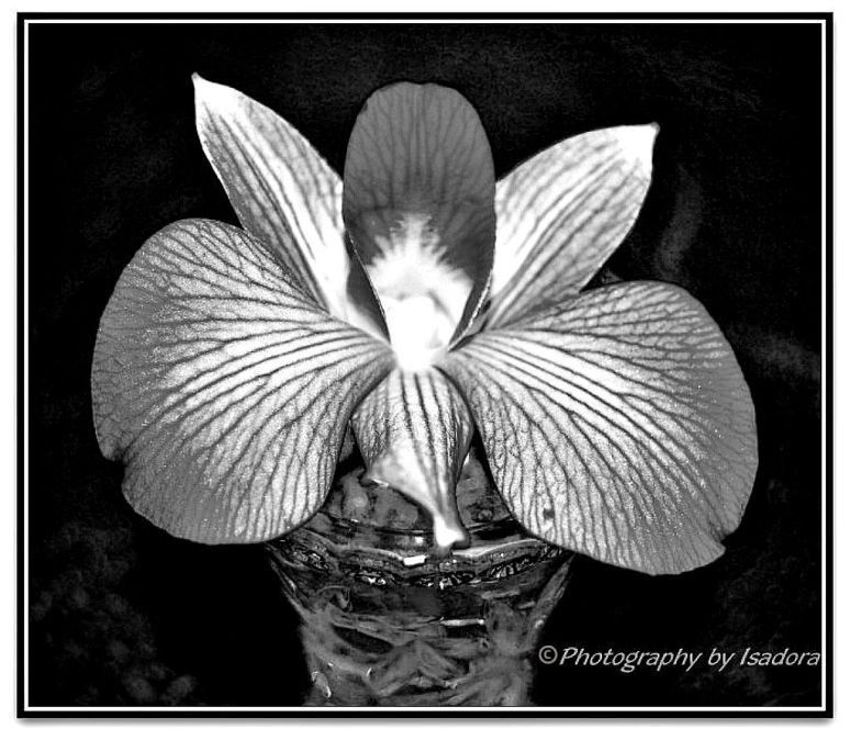 Flower B&W Pink Orchid B.web
