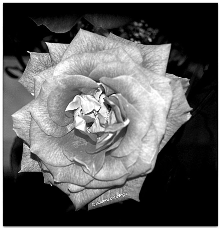 Flower Rose B&W B.web