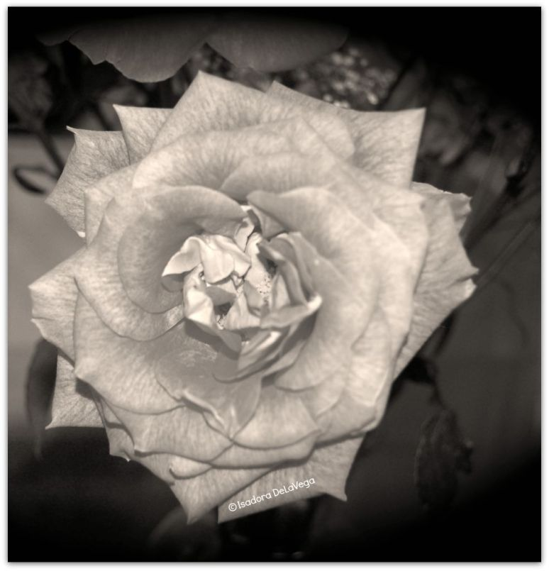 Flower Rose B&W.web