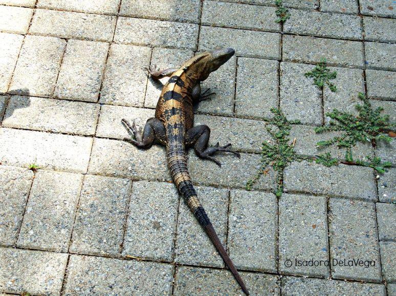 Iguana Costa Rica B.web