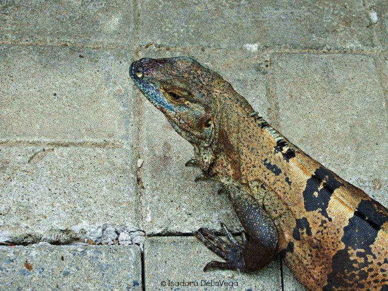 Iguana Costa Rica.web