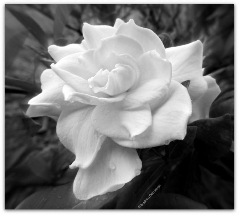 Flower 1024 Gardenia BW.web