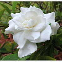 September #One Four Challenge - Week 3 - Gardenia