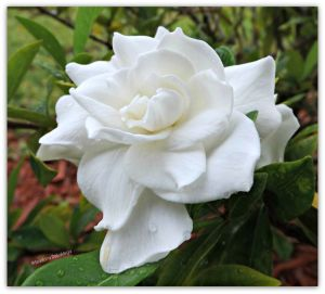 Flower 1024 Gardenia original web