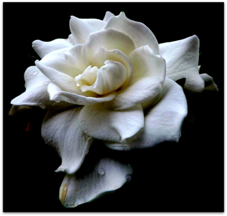 Flower 1024A Gardenia.web