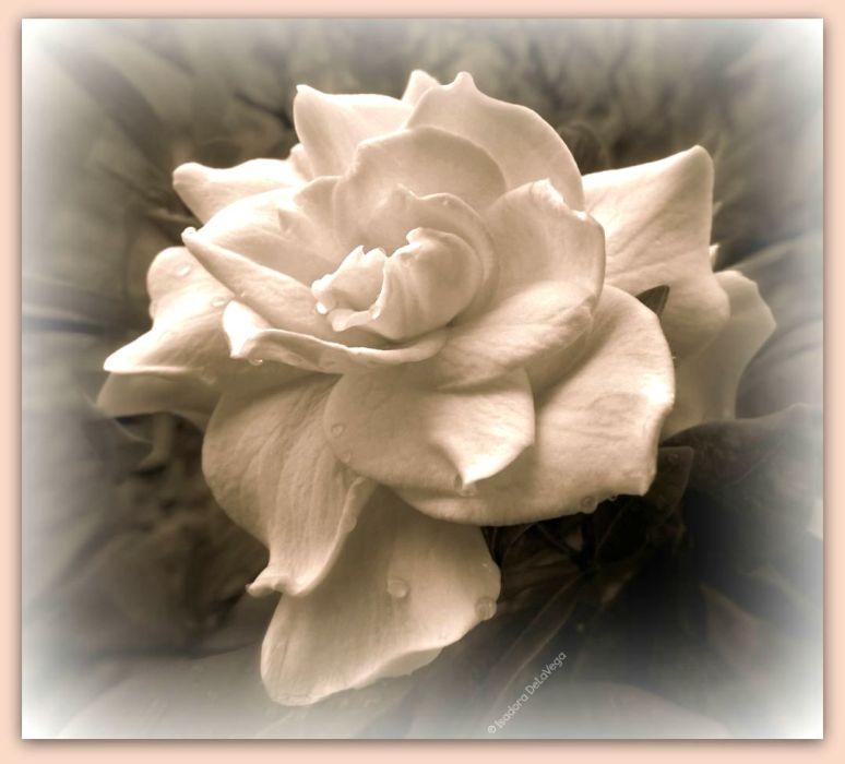 Flower 1024B Gardenia Sepia.web