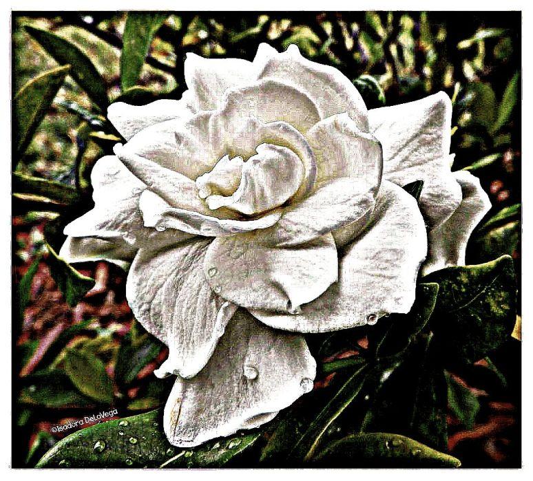 Flower 1024Plumbe Gardenia.web