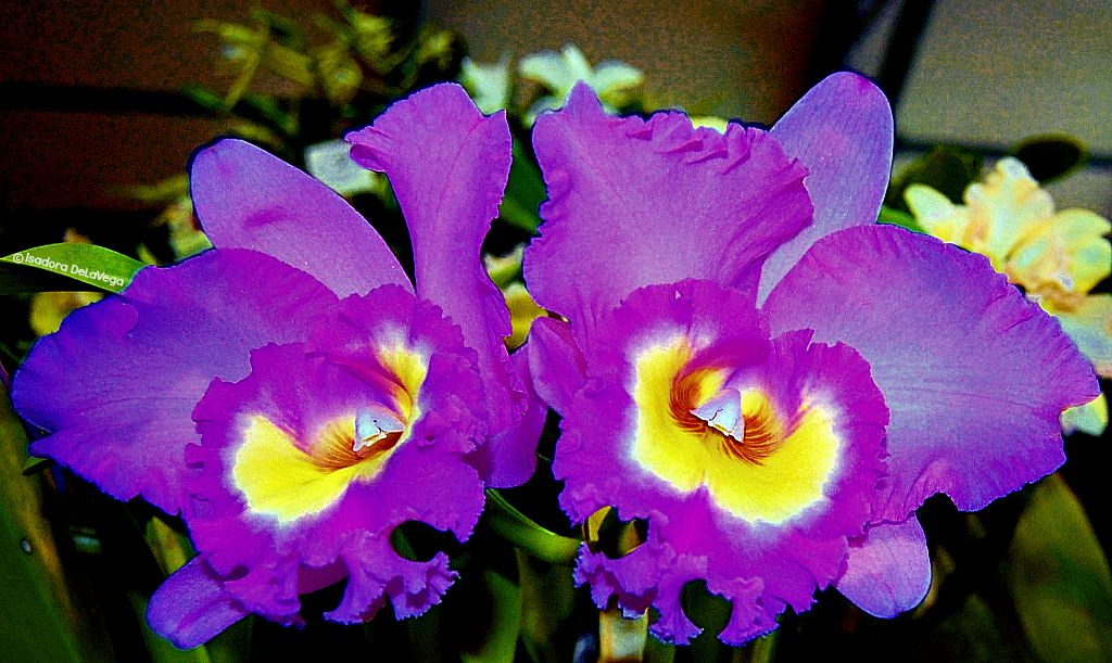 Flower Purple Red Orchid S.web