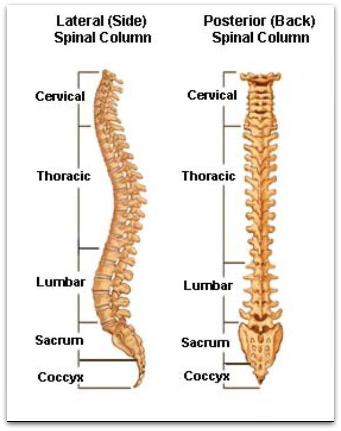 Isadora Spine - chart.web