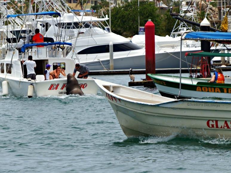 Cabo San Lucas Sea Lion.web