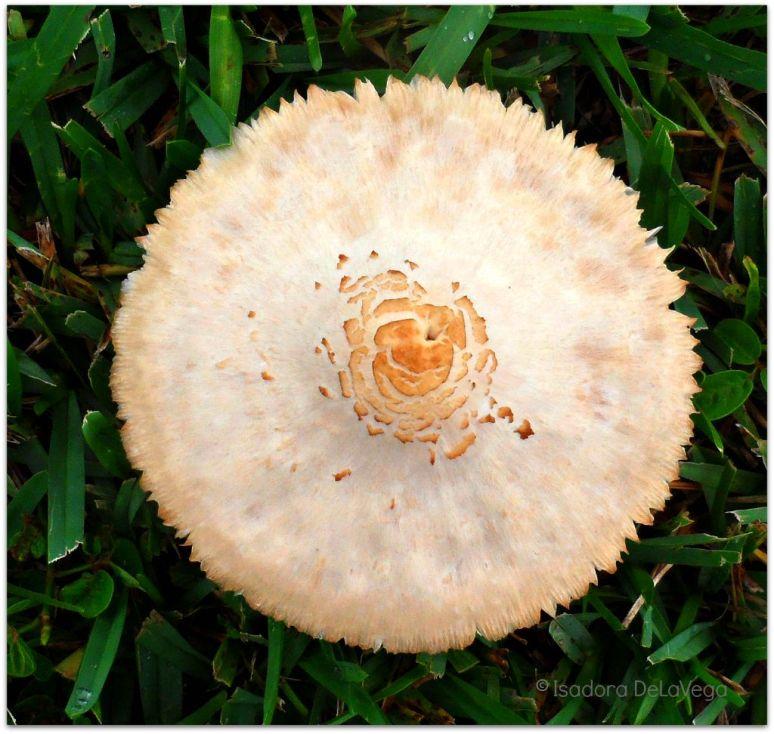 Vegetable Mushroom.web