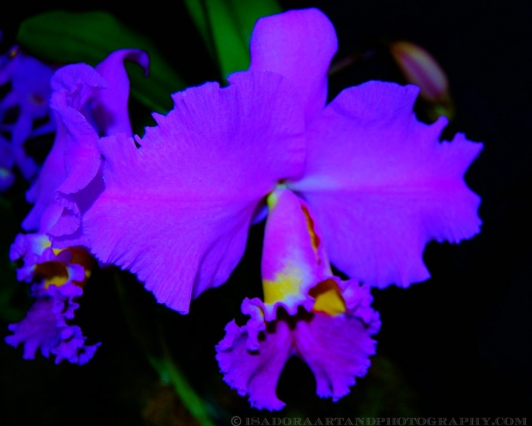 Flower Purple Orchid (1024x787).web