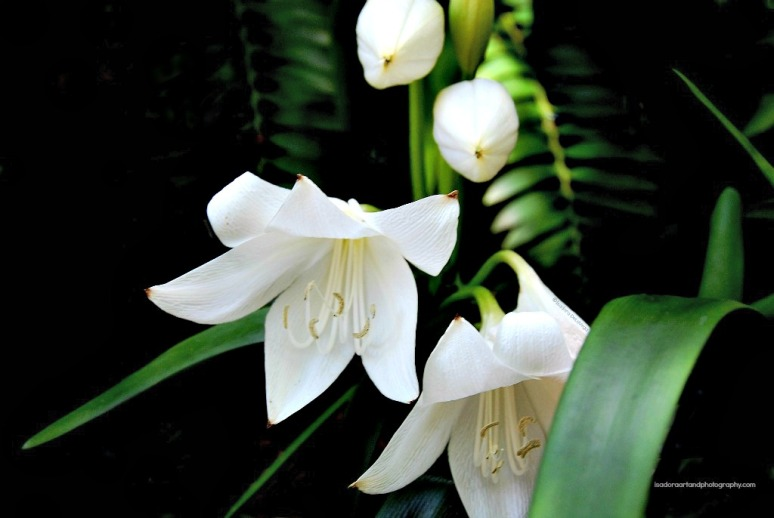 Flower-1024-AB-Lily.web