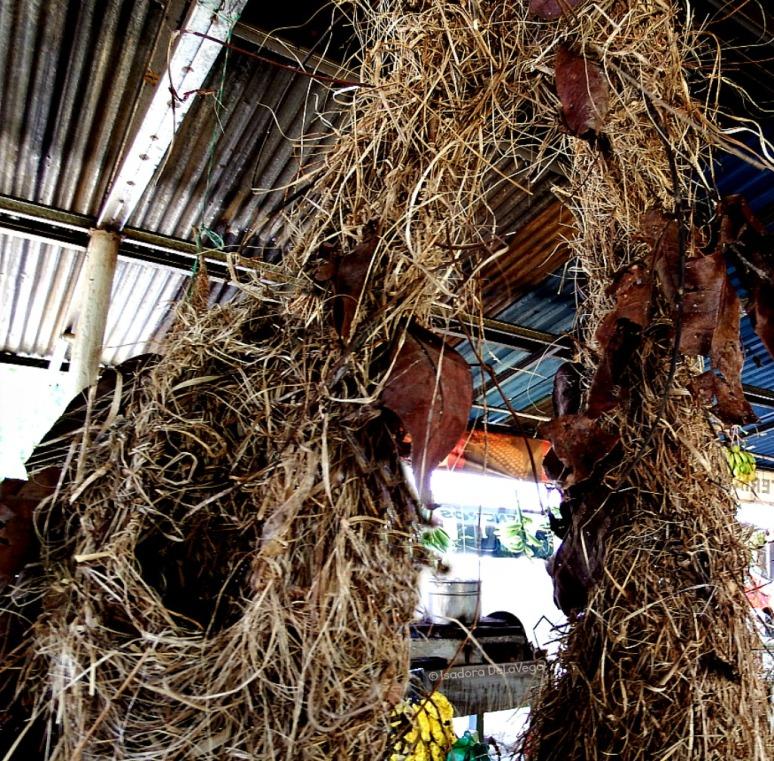 costa-rica-bird-nest-close-web