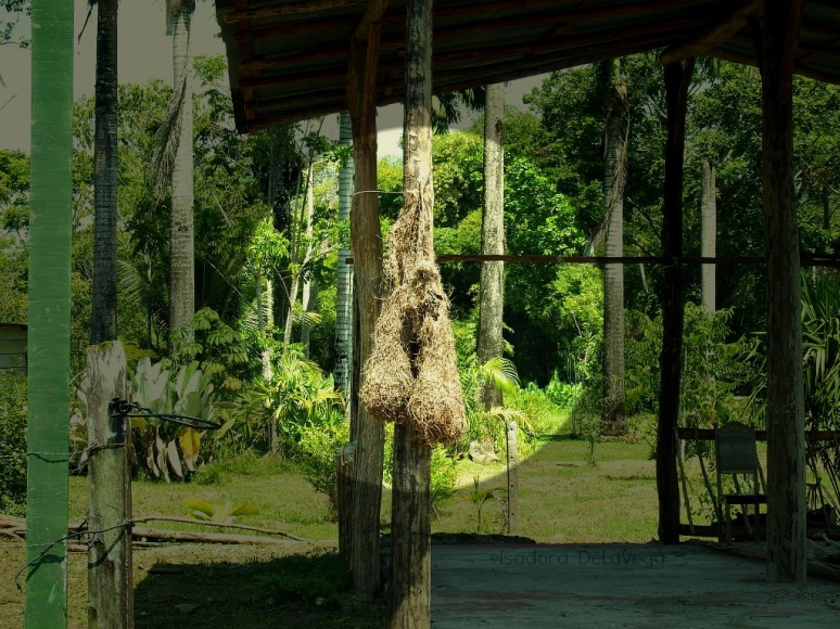 costa-rica-bird-nests-focal-web