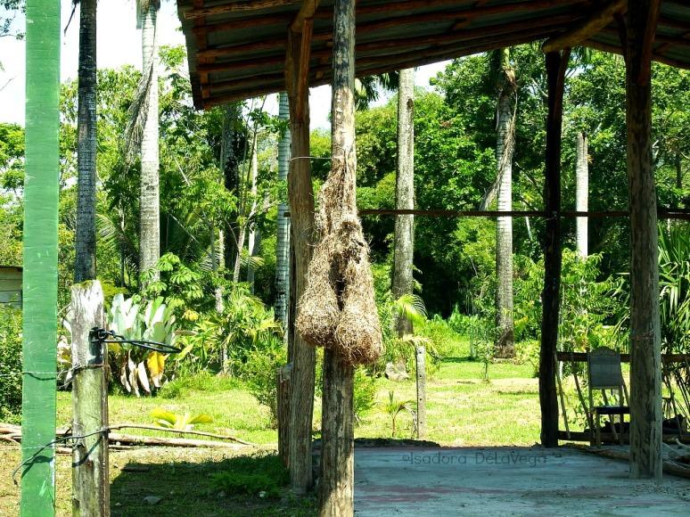 costa-rica-bird-nests-web