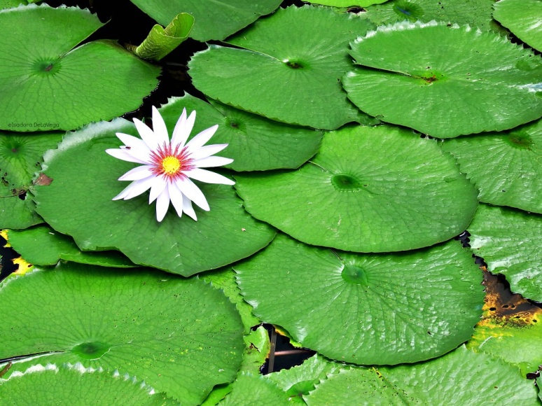 flower-ps-lily-pads-web