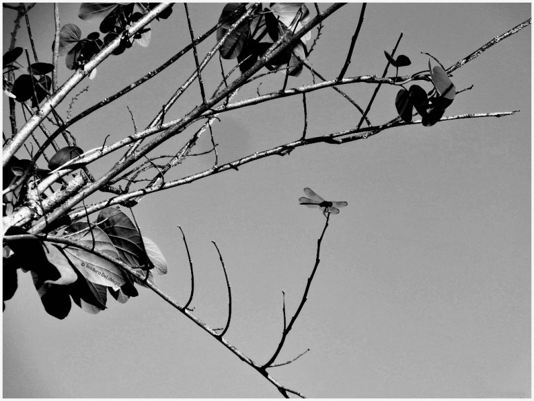 tree-bw-dragonfly-web