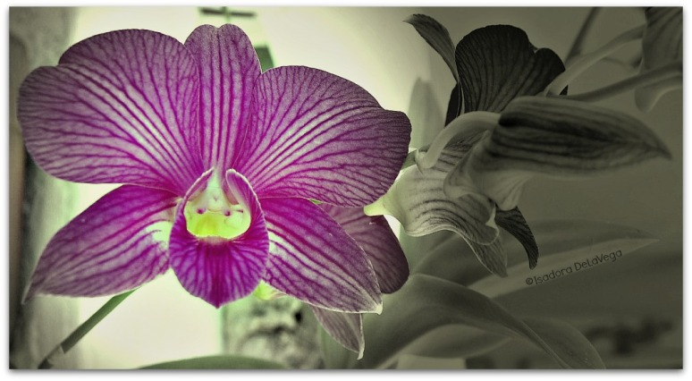 flower-1-red-dendrobium-bw-floating-web