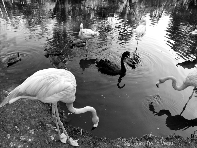 b-w-flamingo-1000-web