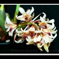 Xylobium Orchids