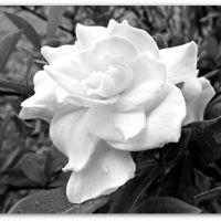 Misty Gardenia
